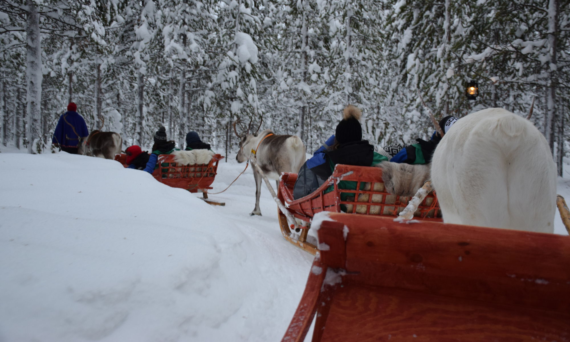 A reindeer sleigh ride through the forests of Swedish Lapland.