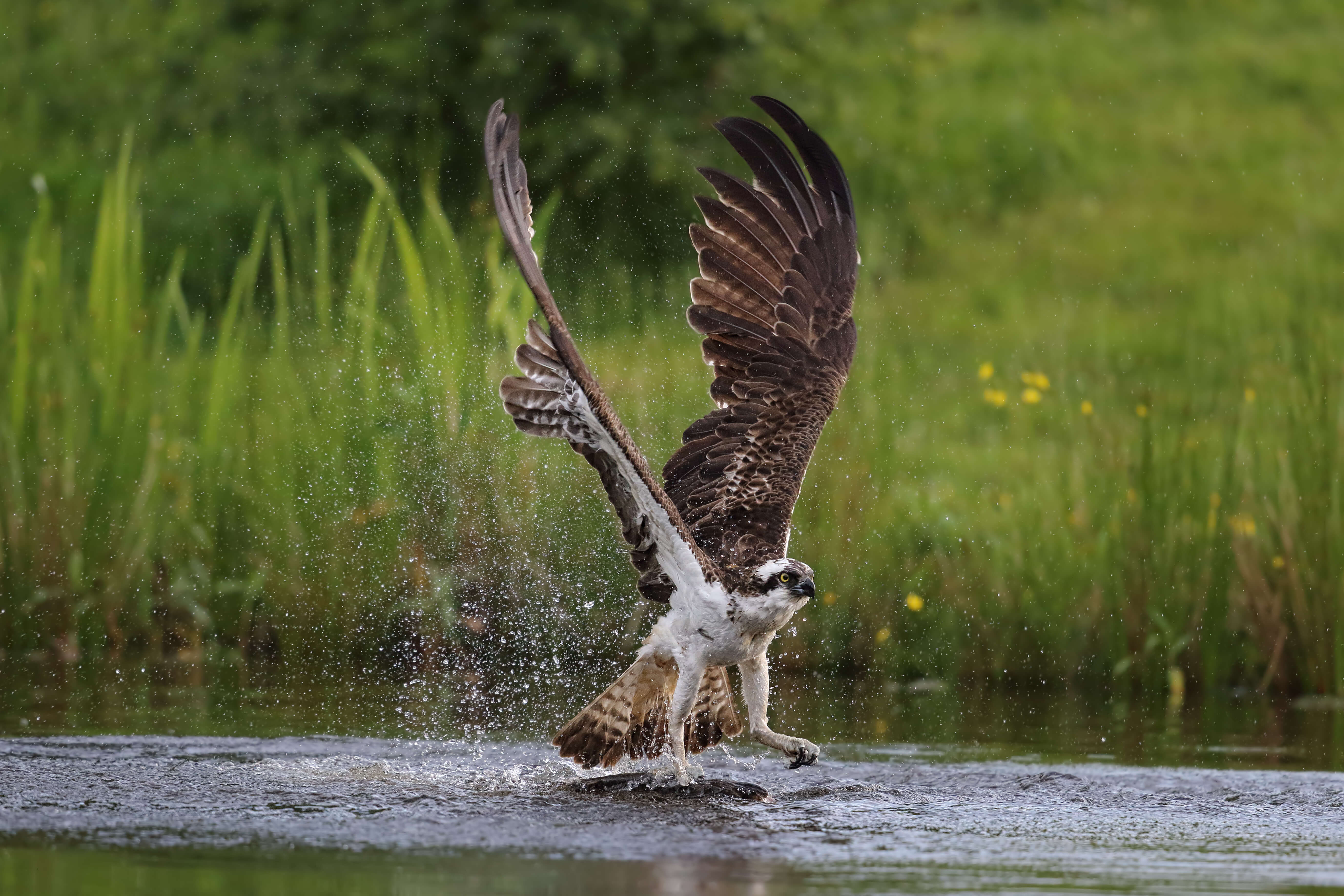 An osprey fishing near Aviemore