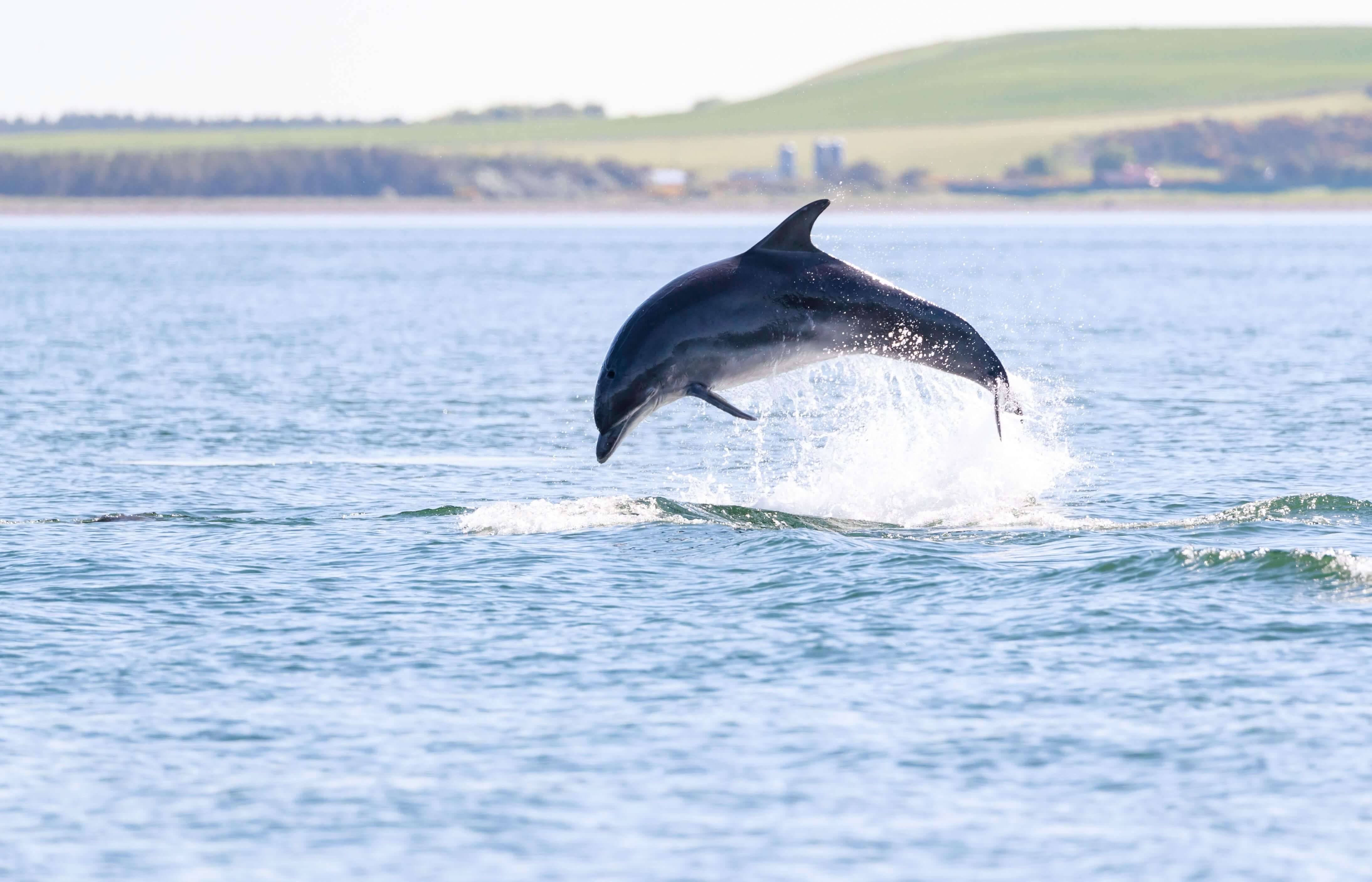 A wild bottlenose dolphin in their natural environment in Moray Firth.